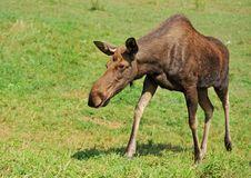 Free Elk Royalty Free Stock Image - 19722396