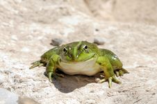 Free Smiling Frog - Edible Frog - Pelophylax Kl. Escule Royalty Free Stock Images - 19722439