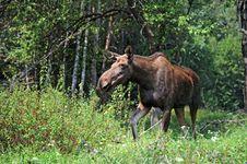 Free Elk Stock Photos - 19722473