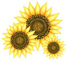 Free Sunflowers Stock Photo - 19723210
