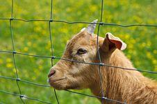 Free Goat Stock Photo - 19724150