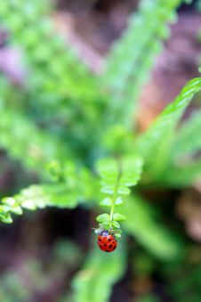 Free Ladybug Stock Image - 19724311