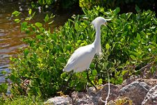 Free Snowy Egret Royalty Free Stock Images - 19724419