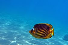 Free Diagonal Butterflyfish Stock Photography - 19724422