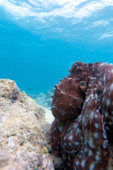Free Octopus Stock Photo - 19724520