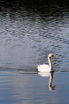 Free White Swan Stock Photos - 19725133