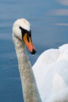 Free White Swan Royalty Free Stock Photos - 19725178