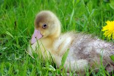 Free Little Gosling Sitting In The Grass Royalty Free Stock Photo - 19725245