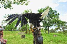 Free Bald Eagle (Haliaeetus Leucocephalus) Stock Photos - 19725353