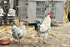 Hens In Rustic Farm Yard Stock Photo