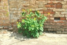 Free The Green Plant Growing Against Brick Wall Royalty Free Stock Photos - 19727998