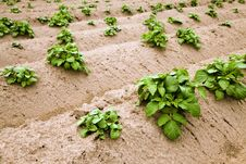 Free Potato Field Royalty Free Stock Photos - 19728098