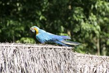 Free Blue And Gold Macaw, Peru, South America Stock Photography - 19728782