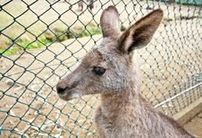 Free Kangaroo In Zoo Royalty Free Stock Photography - 19728977