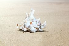 Free Shell On Sand Royalty Free Stock Photo - 19729535