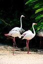 Free Flamingo Bird Royalty Free Stock Photos - 19731948