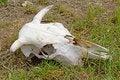 Free Ox Skull Stock Photos - 19733233