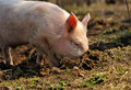 Free Boar Royalty Free Stock Image - 19734496