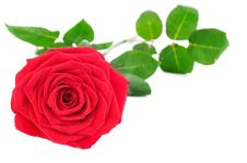 Free Red Rose Royalty Free Stock Image - 19730326