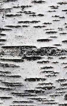 Free Birch Bark Texture Royalty Free Stock Images - 19730979