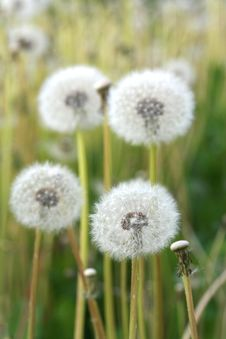 Free Field Of Dandelions Stock Photography - 19732592