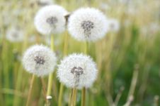 Free Dandelions In A Field Stock Photography - 19732602