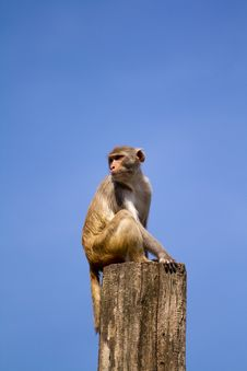 Free Monkey Lookout Royalty Free Stock Images - 19732699