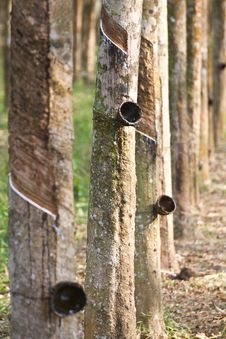 Free Rubber Plantation Stock Photography - 19732972