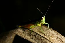 Free Grasshopper Stock Photos - 19733493