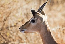 Free Gazelle Munching Royalty Free Stock Photography - 19733527
