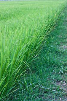 Grain, Rice Royalty Free Stock Photography