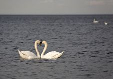 Free Swans In The Baltic Sea. Royalty Free Stock Photos - 19734118