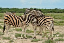 Free Zebras Friends Stock Images - 19734214