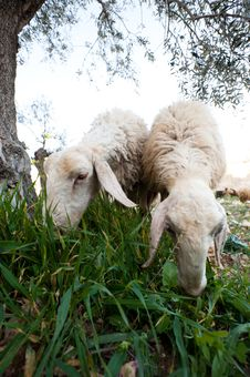 Free Sheep In Bethlehem Royalty Free Stock Image - 19734216