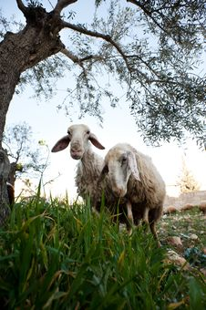 Free Sheep In Bethlehem Royalty Free Stock Photos - 19734218