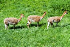 Free Lama Vicunas Royalty Free Stock Photos - 19734238