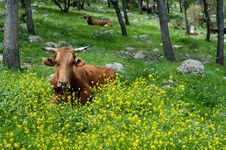 Free Range Cattle Stock Images