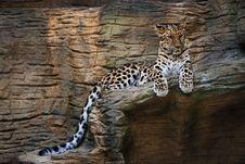 Free Jaguar (Panthera Onca) Royalty Free Stock Image - 19734296