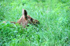 Free Canadian Elk Stock Image - 19734451
