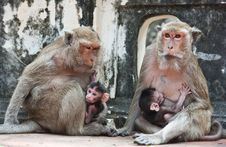 Free Family Of Monkeys Royalty Free Stock Photo - 19734485