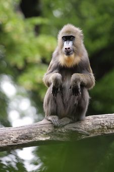 Free Mandrill Stock Images - 19734774