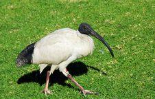 Free Sacred Ibis, Sydney, Australia Royalty Free Stock Images - 19734789