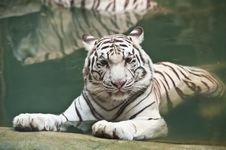 Free White Tiger In Water Stock Image - 19734801