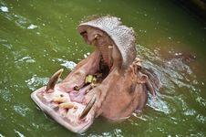 Free Hippopotamus Stock Photography - 19734922