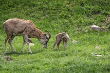 Free Urial Adult And Juvenile Stock Photos - 19735043