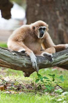 White Handed Gibbon Or Lar Gibbon Stock Photo