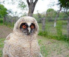 Wild Baby Owl Stock Images