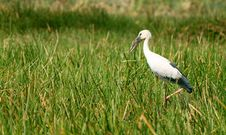 Free Asian Openbill Stock In Asian Sanctuary Royalty Free Stock Images - 19735689