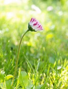 Free Daisy Flower Royalty Free Stock Images - 19736009