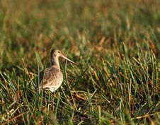 Free Godwit In Asian Sanctuary Royalty Free Stock Images - 19736049
